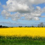 field-of-rapeseeds-270443_1920
